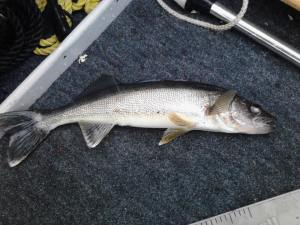 Salmon River Reservoir Walleye